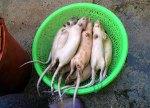Tikus yang agak sehat ini dikumpulkan sebelum diproses..